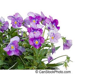 背景, 隔離された, cornuta, 花, ビオラ, 白