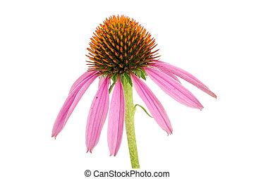 背景, 隔離された, echinacea のpurpurea, coneflower, 白, ∥あるいは∥
