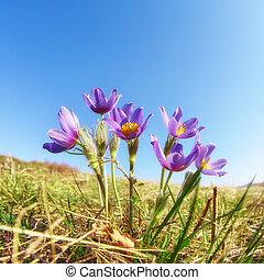 背景, pulsatilla, 天空, 花, 藍色