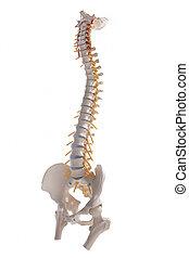 背骨の コラム