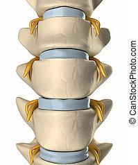 背骨, 神経, 上に, ∥, 背骨, -, 前方の眺め