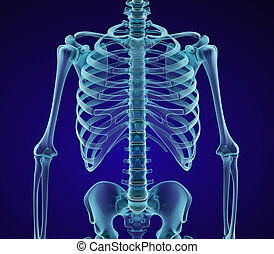 胸, skeleton:, ビュー。, 3d, chest., 前部, 人間, medically, イラスト, x 線...