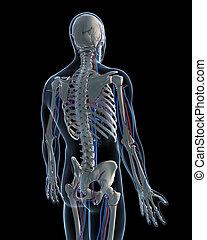 脈管的系統