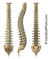 脊柱, 人間