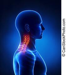 脊柱, 側面, 子宮頸管の, 光景