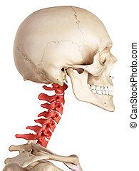 脊柱, 子宮頸管の