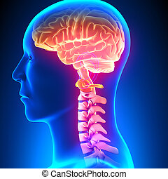 脊柱, 子宮頸管の, c1, ディスク, -