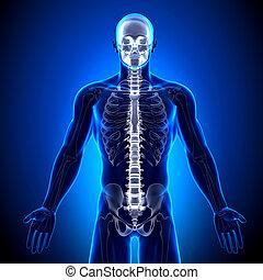 脊柱, -, /, 解剖学, 骨, 椎骨