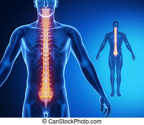 脊柱, 解剖学, 骨, x 線, 走り読みしなさい