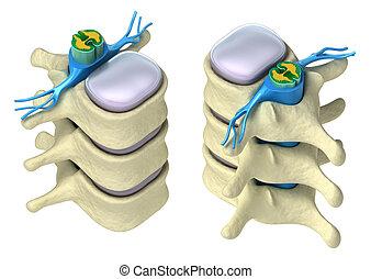 脊柱, 詳細, 人間