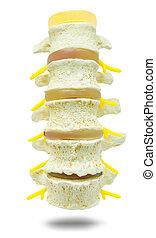 脊柱, medical., 腰の, 準備, 部分, 勉強しなさい