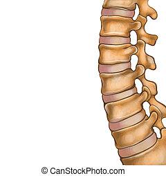 脊椎, 人類