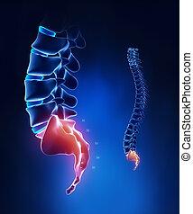 脊椎, sacral, 區域, 解剖學, 在, x光, 藍色