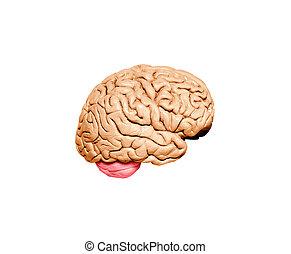 脳モデル, 人間