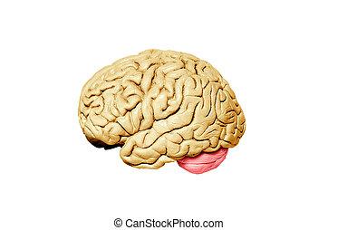 脳モデル, 白い背景, 人間