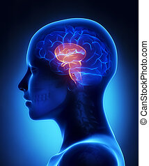 脳幹, -, 女性, 脳, 解剖学, 横の視野