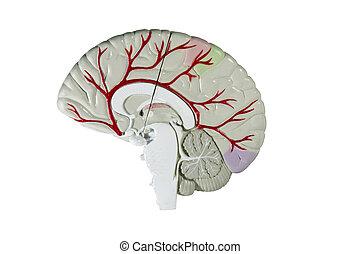脳, セクション, モデル, 人間, 交差点