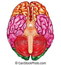 脳, ベクトル, 人間, 下側, 光景