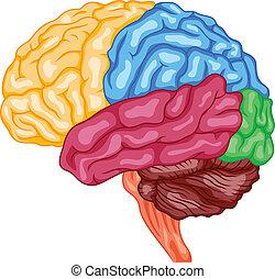 脳, 人間