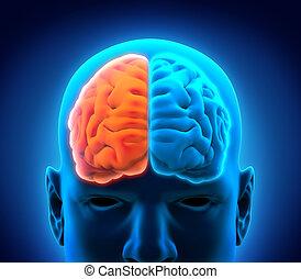 脳, 権利, 人間, 左