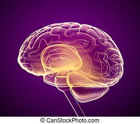脳, 正確, 走り読みしなさい, イラスト, medically, x 線, 3d