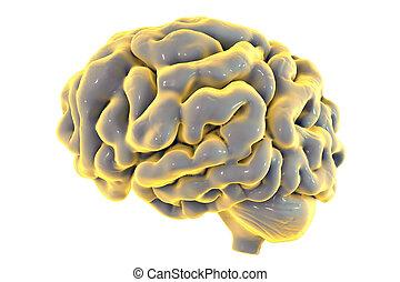脳, 白い背景, 隔離された, 人間