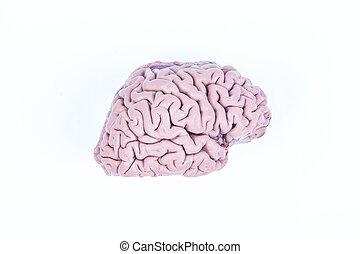 脳, 白, 隔離された, 人間