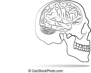 脳, 頭骨