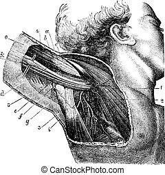 腋の下, 型, 地域, engraving.