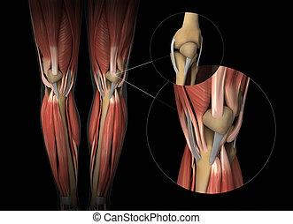 膝蓋, 肌肉, 腱, 以及, 軟骨, 解剖學