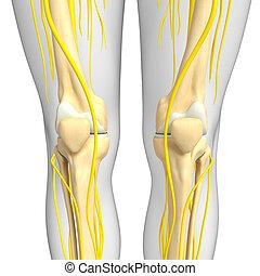 膝, システム, スケルトン, アートワーク, 神経質