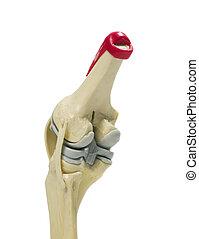 膝, モデル, 解剖