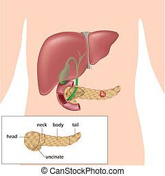 膵臓, がん, eps10