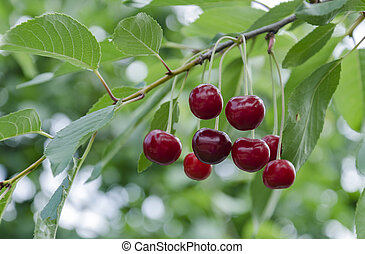 自然, 木, 花, さくらんぼ, 食物, 赤