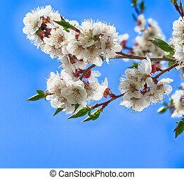 自然, 花, 写真, 木, の上, 春, 背景, さくらんぼ, 終わり, 白い花