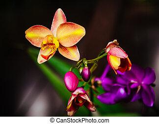 自然, 黒, 蘭, 背景, カラフルである, 花