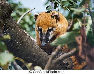 自然, coati, (nasua, nasua), アメリカの南