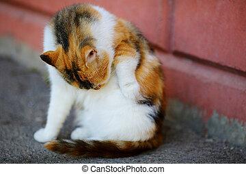舔, 坐, 牆, 貓, itself, 白色, 洗滌, 紅色