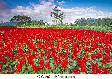 色彩丰富, 全景, 带, a, 领域, 在中, 红的花