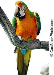 色, 緑, macaw, 鳥, 黄色