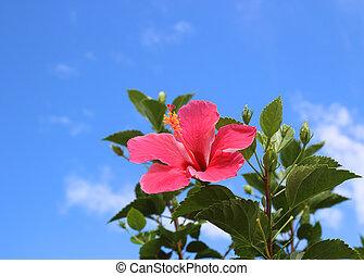 芙蓉屬的植物, 針對, the, 藍色的天空