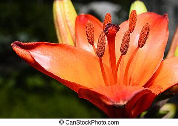 花が咲く, 装飾用, 黄色のユリ, 庭で, クローズアップ