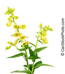 花が咲く, 黄色, キツネノテブクロ