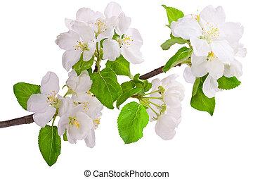 花が咲く, apple-tree, ブランチ