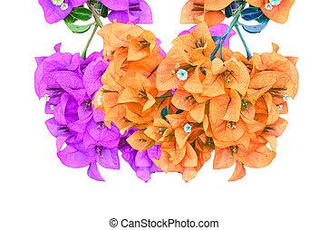 花が咲く, bougainvillea