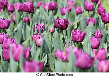 花園, 紫色, 季節, チューリップ, 春
