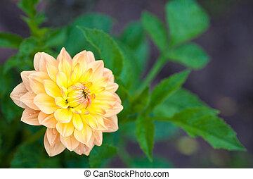 花園, 黄色, フルである, クローズアップ, オレンジ, ダリア, 花