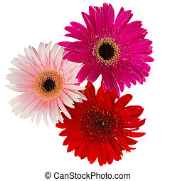 花束, の, gerbera, 花