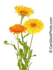 花束, 白, マリーゴールド, 花, 背景