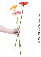 花束, daisy-gerbera, 白, 隔離された, 手